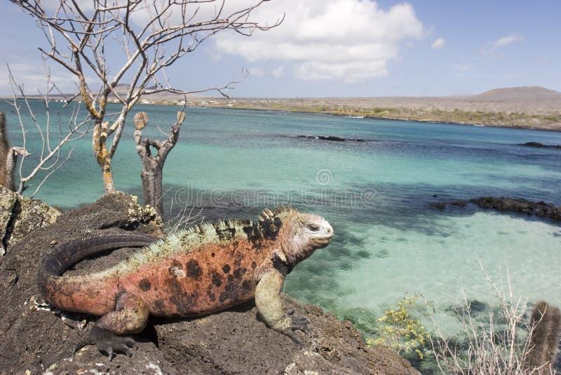 Iguana sull'isola di Floriana fotografie stock libere da diritti