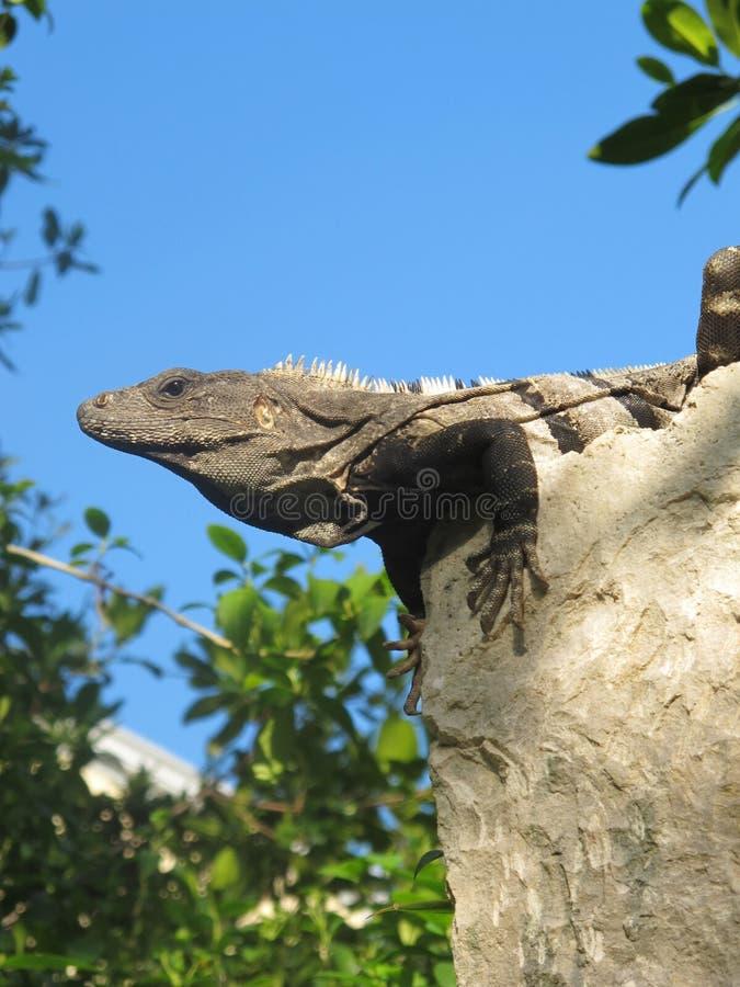 Iguana sull'orologio fotografie stock
