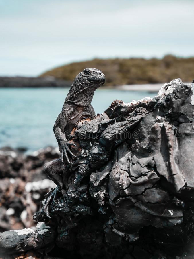 Iguana sulla roccia immagini stock
