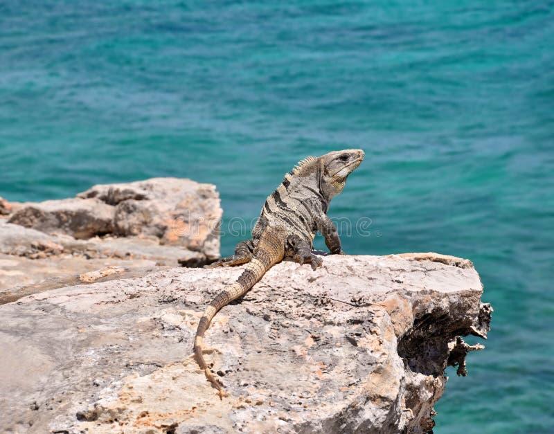 Iguana sulle rocce. Il Messico immagini stock