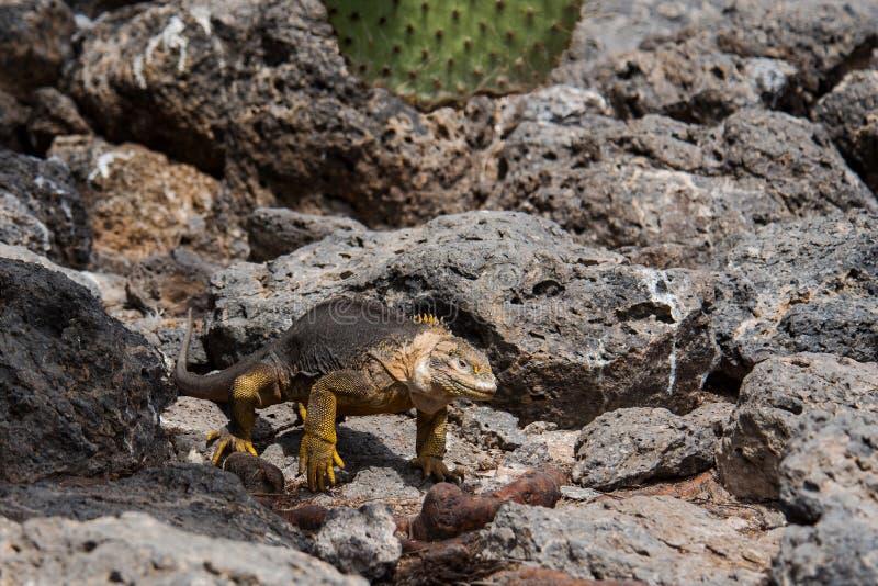 Iguana terrestre delle Galapagos immagini stock