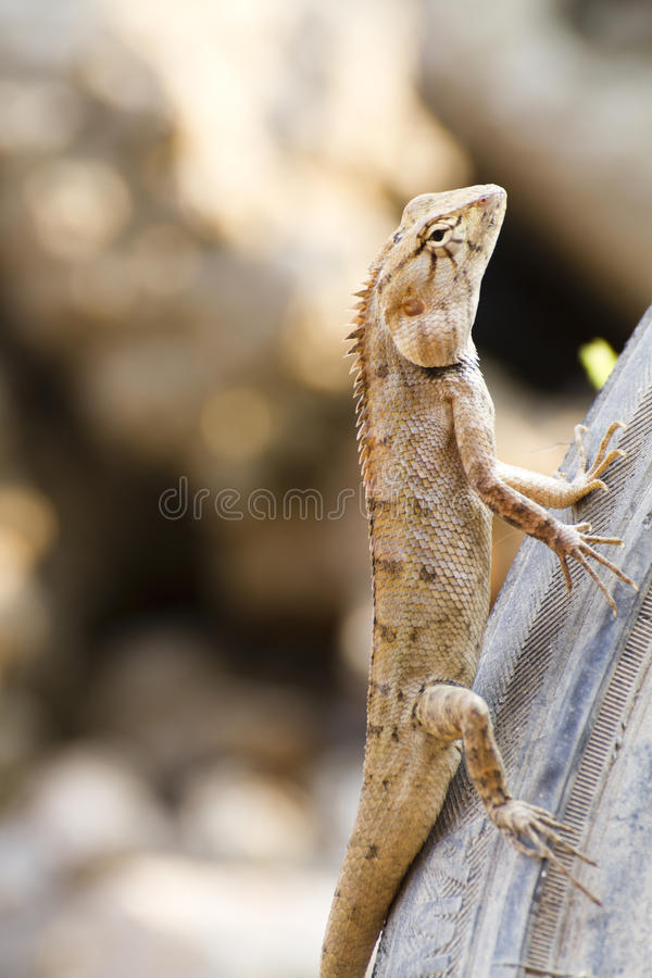 Iguana on Tires. Iguana with a crooked expression on the Tires stock images