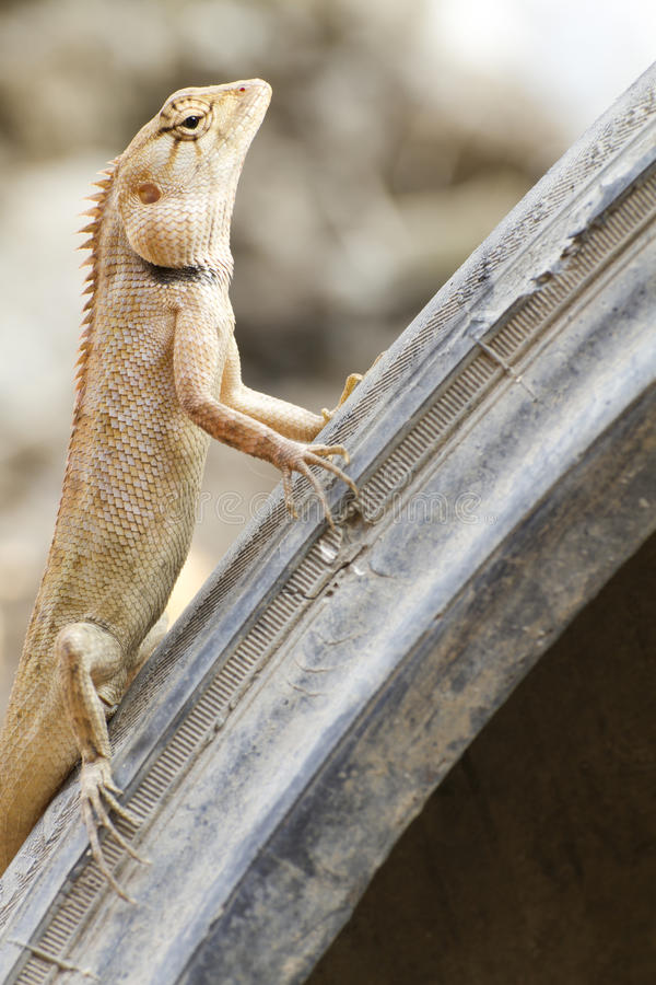 Iguana on Tires. Iguana with a crooked expression on the Tires stock photography