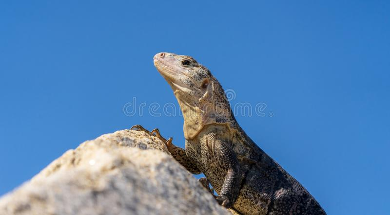 Iguana at top of the rock in Huatulco bay, Mexico. Tropical nature, various fauna, all for nature and animal lovers at Huatulco, Mexico royalty free stock images