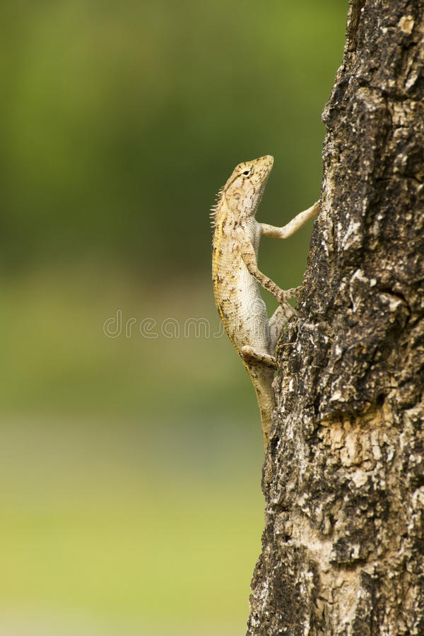 Iguana on Tree. Iguana with a crooked expression on the Tree royalty free stock image