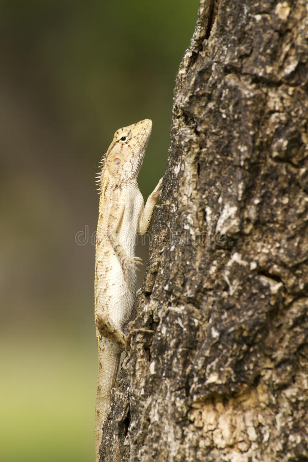 Iguana on Tree. Iguana with a crooked expression on the Tree stock image