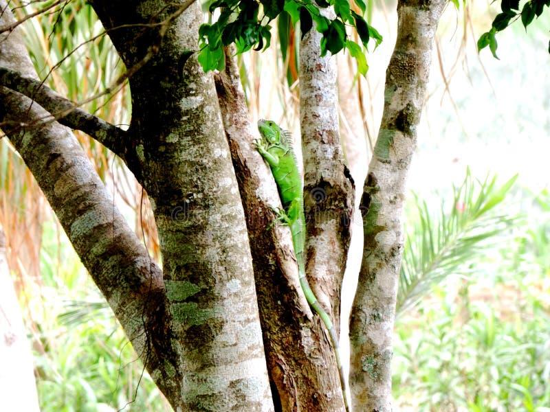 Iguana on the tree. Iguana in the. Iguanaverde, green, reptile, cheerup, animal royalty free stock photos