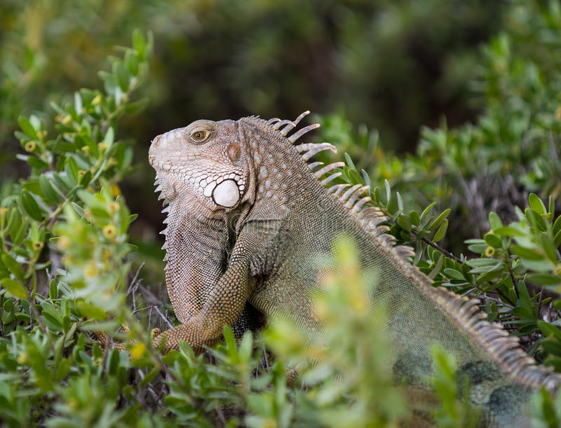 Iguana. Tropical animals on the green leaf stock images