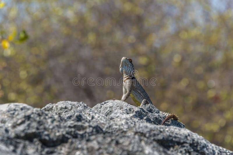 Iguana in Tsingy. royalty free stock photo