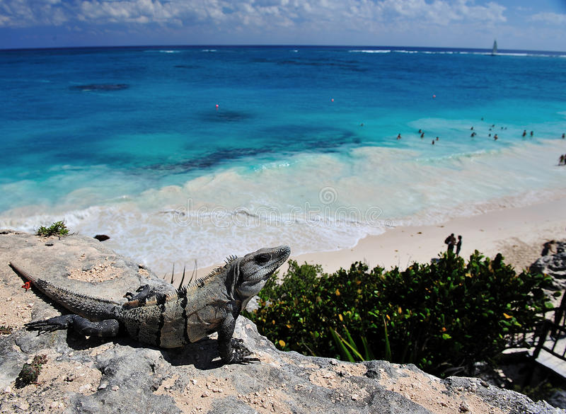 iguana on tulum beach stock photos