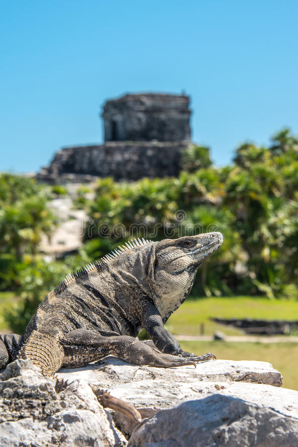 Iguana at Tulum Mexico. Iguana sitting on a rock in the Mayan ruins at Tulum Mexico stock photos