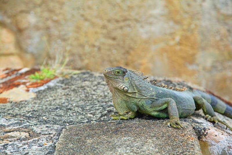 Download Iguana stock photo. Image of arboreal, lizard, puerto - 22653480
