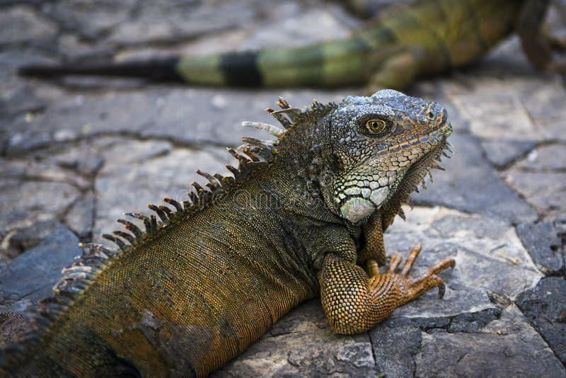 Iguana in un parco a Guayaquil nell'Ecuador immagine stock