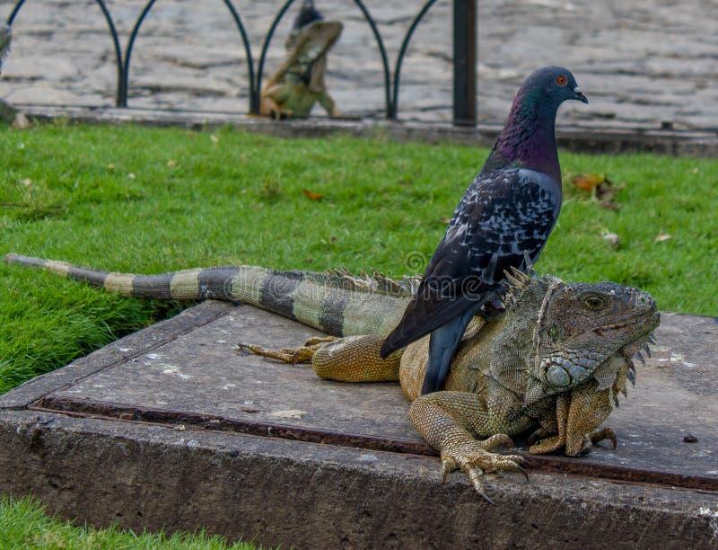 Iguana Under a Pigeon stock photo