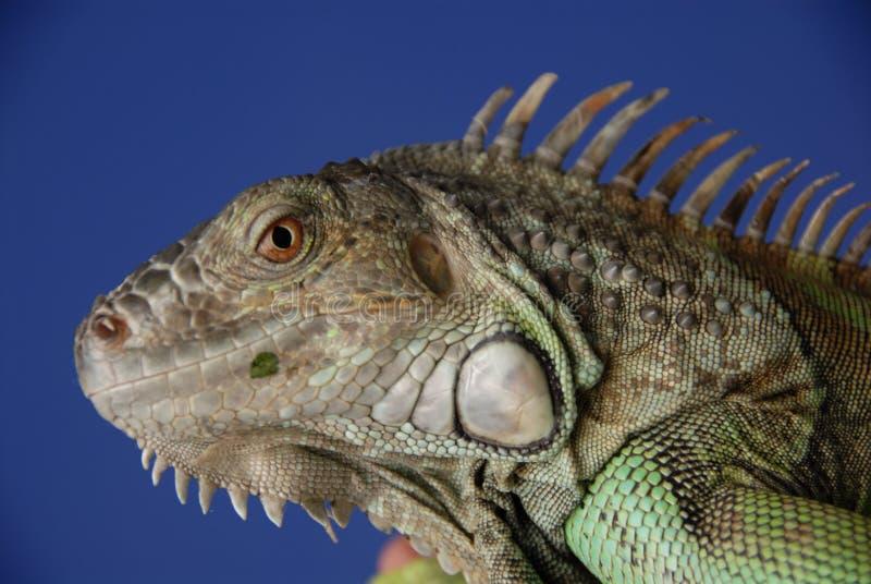 Iguana verde #1 foto de archivo