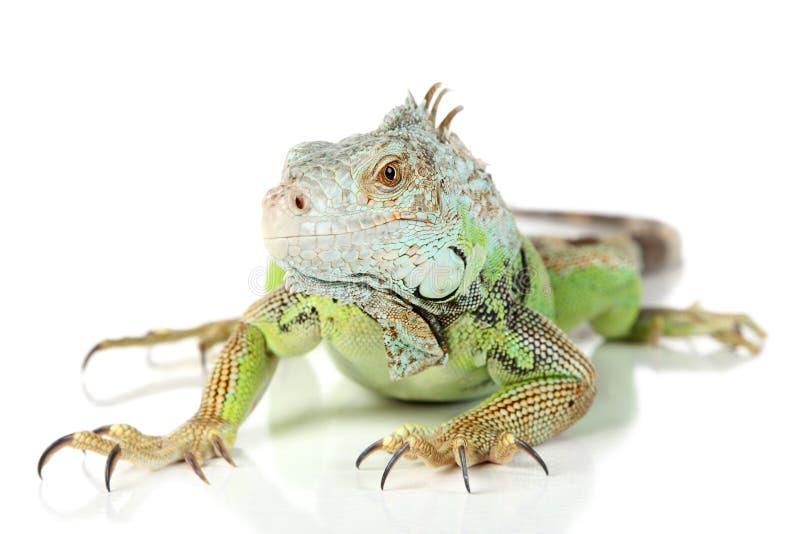 Iguana verde imagem de stock