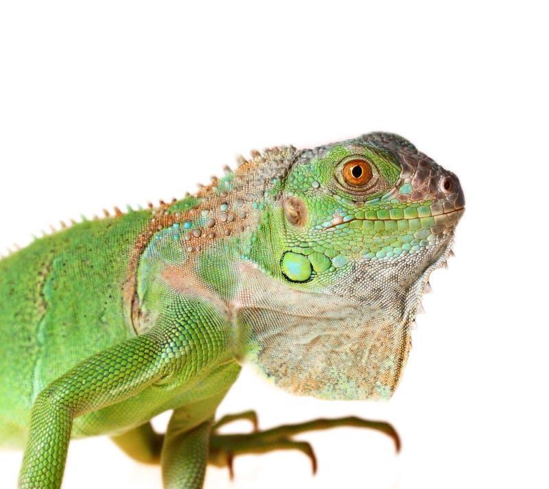 Iguana verde imagen de archivo
