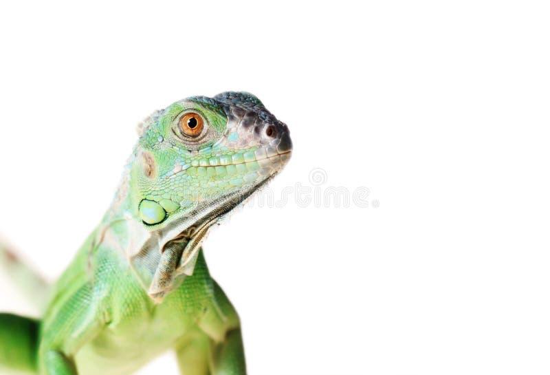 Iguana verde imagenes de archivo