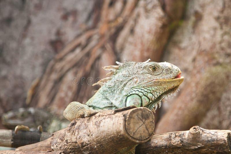 Iguana verde fotografía de archivo libre de regalías