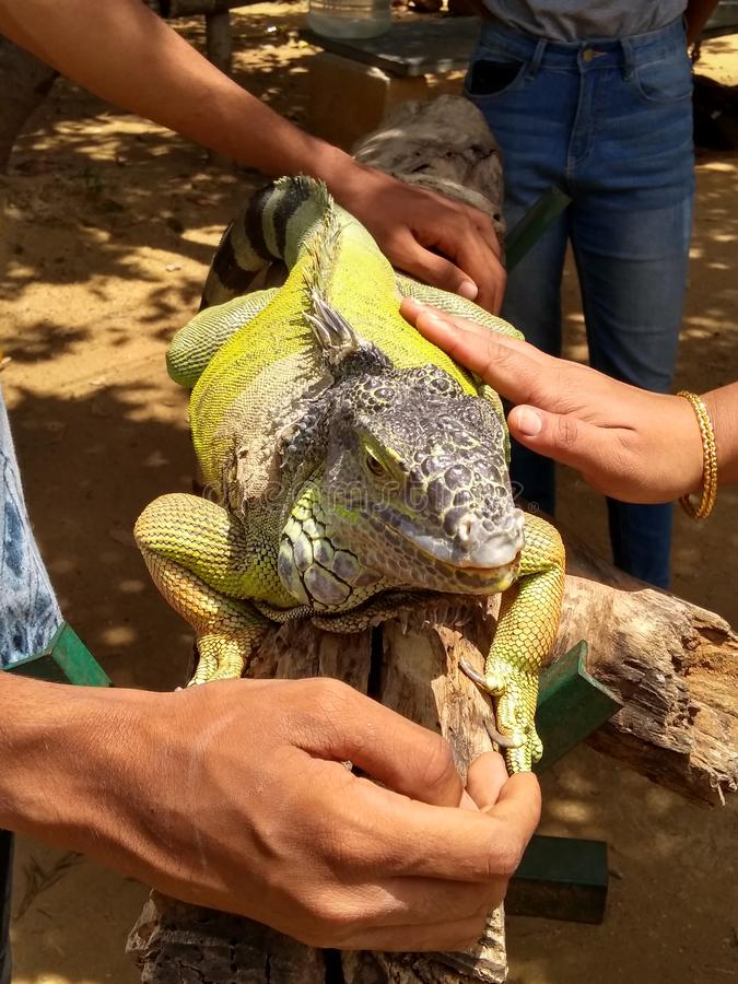 Iguana verde imagens de stock