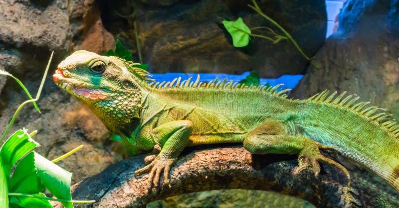 Iguana verde colorida com a boca aberta que senta em um ramo de árvore um animal de estimação tropical do terrarium foto de stock royalty free
