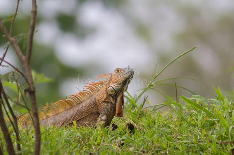 Iguana verde común foto de archivo
