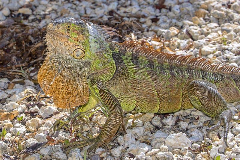 Iguana verde con la pagliolaia estesa fotografia stock libera da diritti