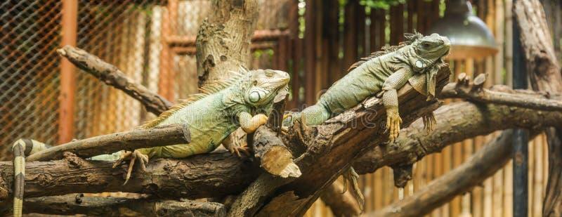 A iguana verde da iguana da iguana, igualmente conhecida como a iguana americana, é uma grande, arborícola, lagarto Encontrado no fotos de stock royalty free