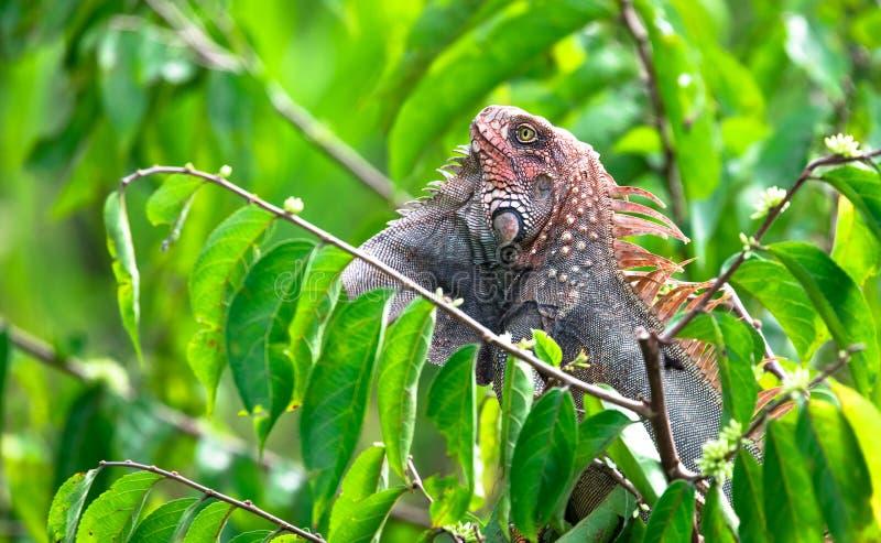 Iguana verde de la iguana de la iguana fotografía de archivo