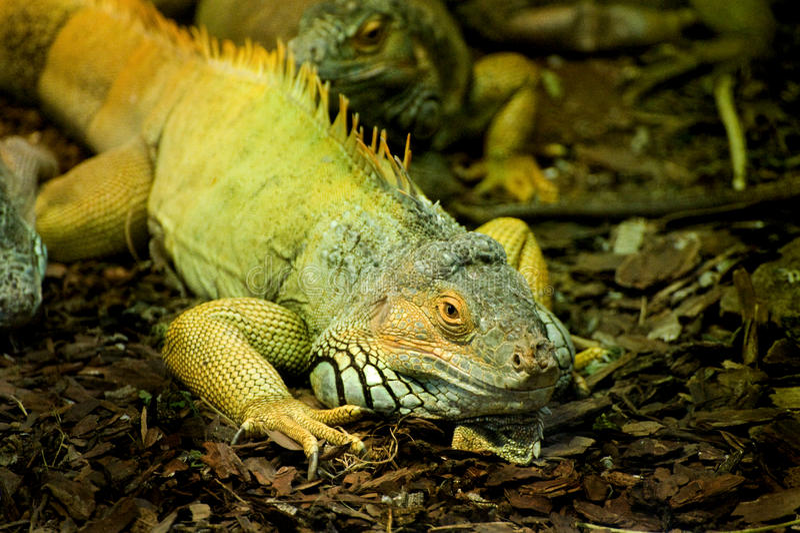 Iguana verde di Cammon fotografia stock libera da diritti