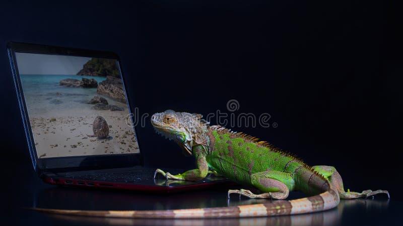 A iguana verde e um portátil foto de stock royalty free