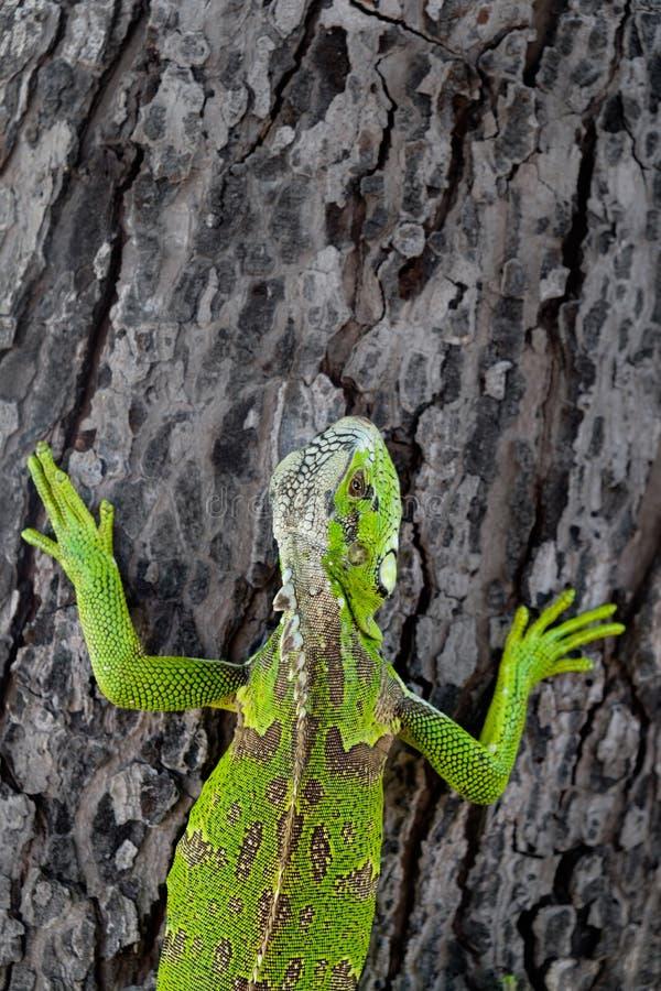 Iguana verde em uma árvore imagem de stock