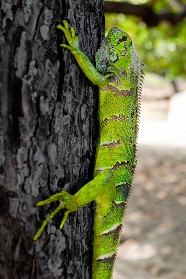 Iguana verde em uma árvore imagem de stock royalty free