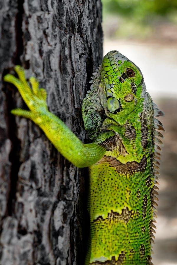 Iguana verde em uma árvore fotos de stock royalty free