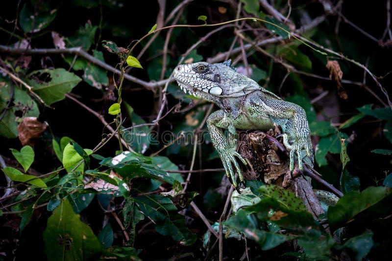 Iguana verde empoleirada no ramo entre as folhas fotografia de stock royalty free