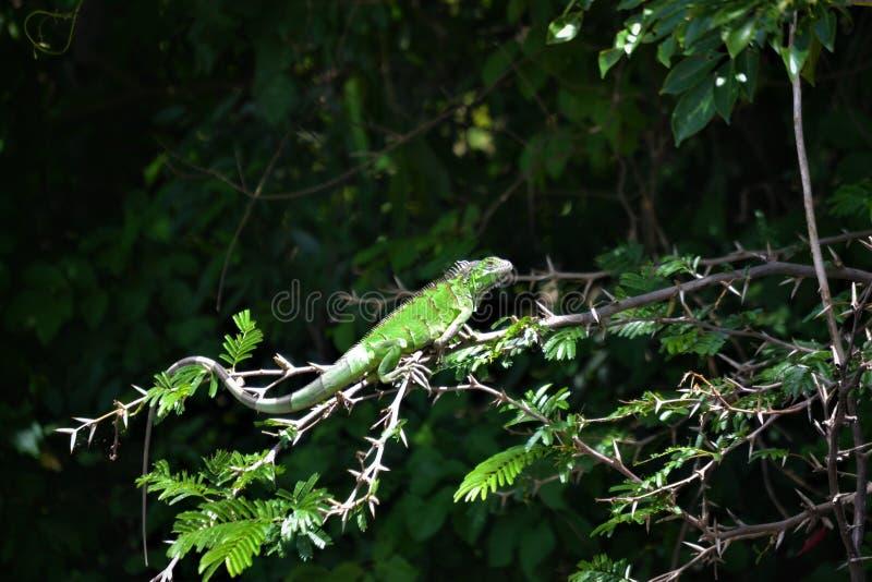 Iguana verde en rama imagenes de archivo
