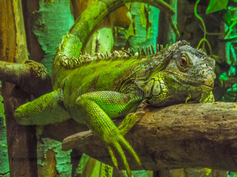 Iguana verde hermosa fotografía de archivo libre de regalías
