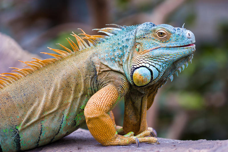 Iguana verde (iguana dell'iguana) fotografie stock libere da diritti