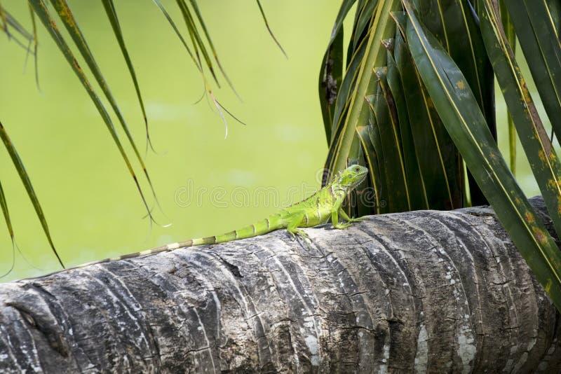 Iguana verde joven que corre a lo largo de una palmera fotos de archivo libres de regalías