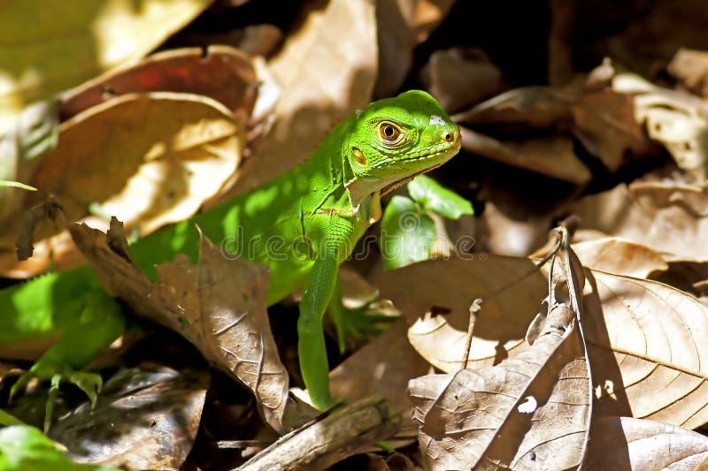Iguana verde juvenil fotografia de stock royalty free