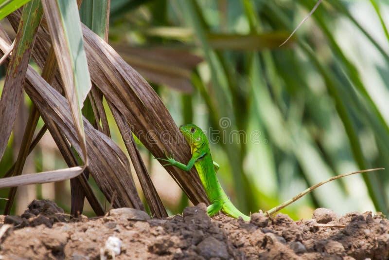 Iguana verde juvenil foto de stock