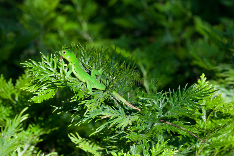 Iguana verde juvenil foto de stock royalty free