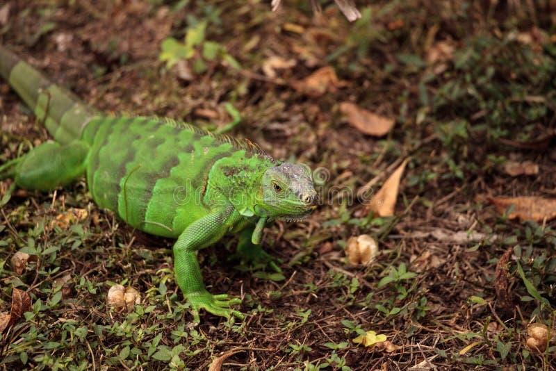 Iguana verde juvenil conhecida scientifically como a iguana da iguana foto de stock royalty free
