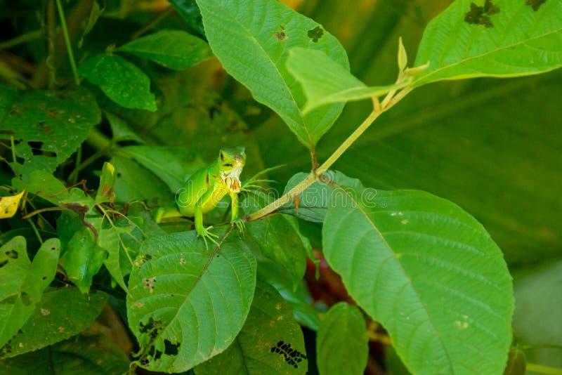 Iguana verde juvenil da iguana da iguana foto de stock royalty free