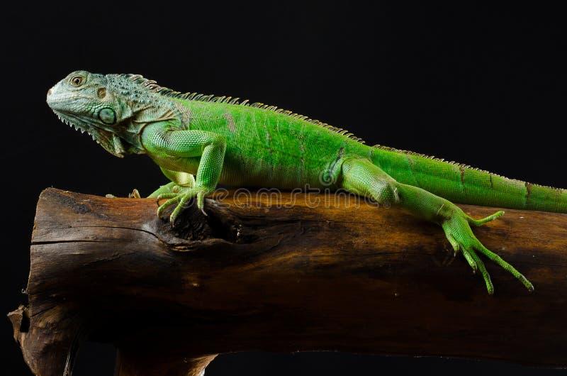 A iguana verde levanta no pedaço da madeira foto de stock royalty free