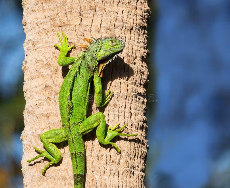 Iguana verde llamativa imagen de archivo