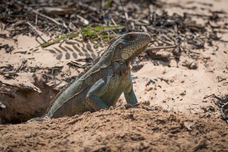 Iguana verde na entrada à toca arenosa fotografia de stock royalty free