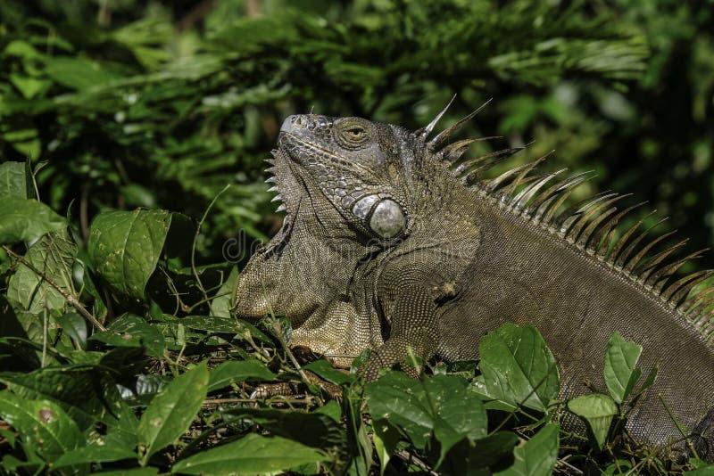 Iguana verde nel boschetto immagini stock libere da diritti