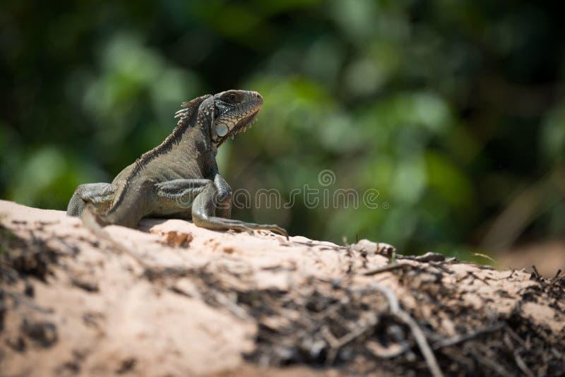 Iguana verde no horizonte que gira para a câmera imagem de stock royalty free