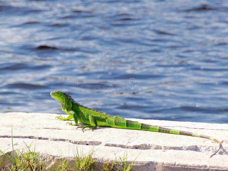 Iguana verde no lado da água imagem de stock royalty free